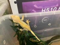 Female Crested Gecko + Males