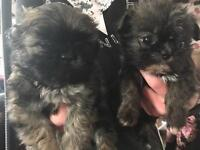 Shih-tzu xwestie pups for sale