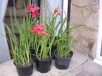 Kaffir Lily (Schizostylis Major) a hardy, evergreen border perennial
