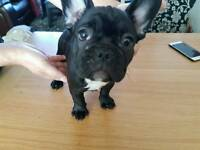 French bulldog looking for forever home