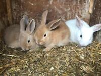 Bunny rabbit's for sale