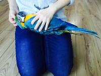 Stunning tame baby macaw