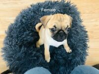 Pug Puppies Ready for a Good Home