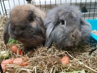 2 bonded rabbits. 1 male, 1 female. 3 years old