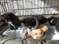4 beatuful kittens for sale