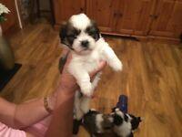 Shihtzu cross Titan puppys