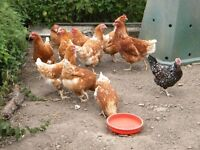 pol hens chickens