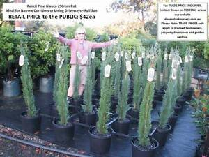 Conifer Cypress Pencil Pines - Assorted Varieties Feature HS108 Mudgeeraba Gold Coast South Preview