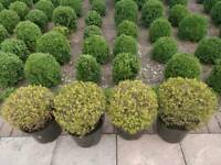 Buxus microphylla 'Golden Dream' evergreen shrub , 30cm dia. £6 each. Collect from Rothwell LS26