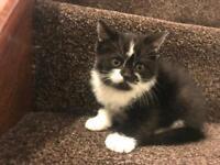 Half British Shorthair Kittens