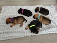 Border terrier puppy's