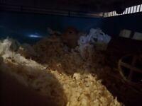 Hamster cage large and hamster
