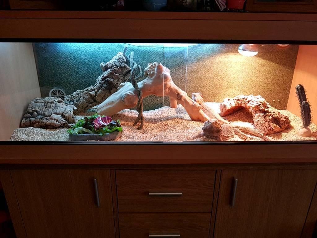 Bearded dragons x2 including full vivarium set up and sideboard