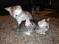 BENGAL KITTENS FOR SALE ready to go