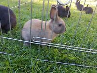 Cute English Angora/Netherland Dwarf Cross Bunnies