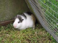 Two male Guinea Pigs 3 -4 months