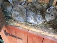 Big rabbits