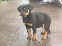 PURE ROTTWEILER PUPPIES READY TO GO ***£650***