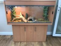 bearded dragon and stunning 4ft set up