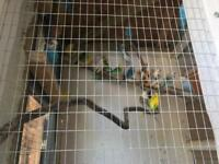 Budgies for sale all different beautiful colours