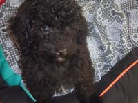 BLACK MALE TOY POODLE PUPPY