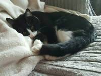Male cat - 2 years old - reluctant sale
