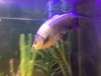 Large 18 inch Pacu - Tropical fish