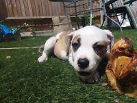 American Bulldog Puppy 10weeks