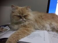 Persian Cat Fully Vaccinated