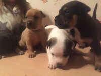 Rottweiler x Staffordshire Terrior Puppies For Sale