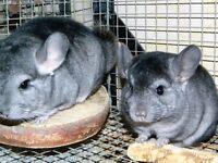 Standard male chinchilla and medium ebony male chinchilla for sale