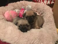3/4 Pug puppies for sale