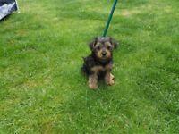 Pedigree Yorkshire terrier puppies