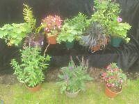 Garden perennials plant bundle