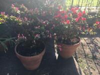 Two large azalea plants