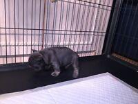 Blue tan French bulldog puppy