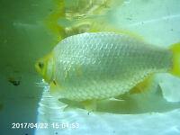 2x pond fish/ golden fish (adult) 25cm/20cm