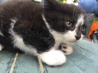 Lovely Kitten for Sale -Male