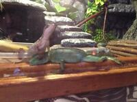 Green and brown basilisk lizards for sale