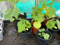Cucumber, tomato and sweet chilli plants