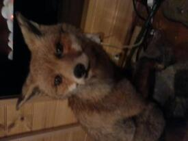 taxidermy fox and badger