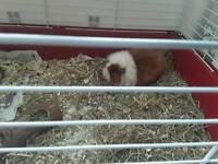 Female Guinea pig , hutch, run, all new