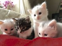 Long haired kittens for sale