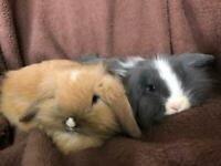 GIANT LION LOP GORGEOUS BABY RABBITS