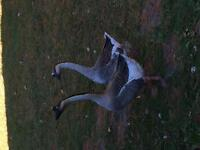 Chinese fighting geese