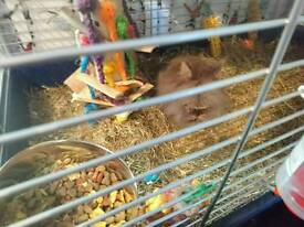 Male lionhead with cage