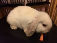 Baby rabbits mini lop cross plush