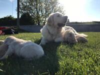IKC Reg Golden Retriever pups