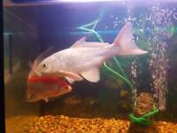 Big Koi and comet goldfish for sale - Perfect for Ponds