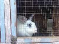 Rabbits selling for free due to no hutch